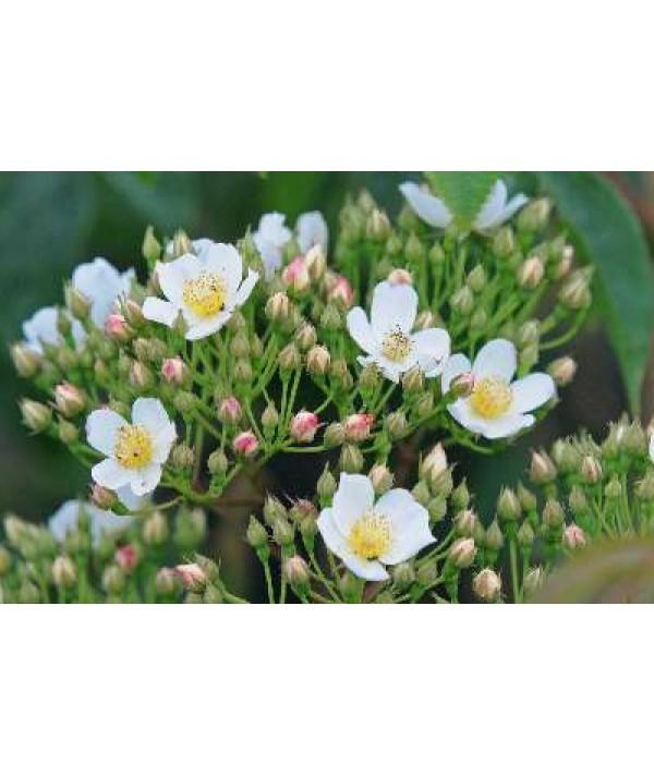 Rosa filipes Kiftsgate (6lt)