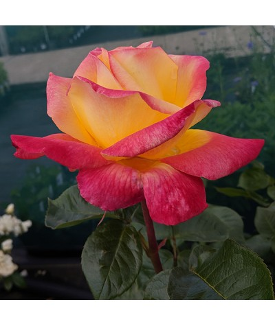 Rosa Love and Peace (6lt)