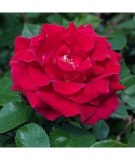 Rosa Lovestruck (6lt)