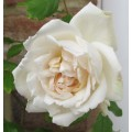 Rosa Madame Alfred Carriere (6lt)