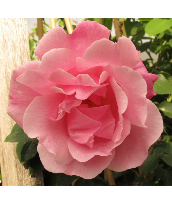 Rosa Madame Gregoire Stachelin (10lt)