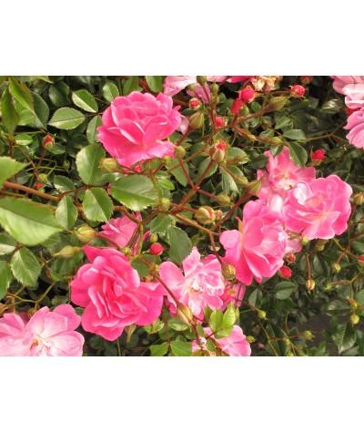 Rosa Magic Carpet (6lt)