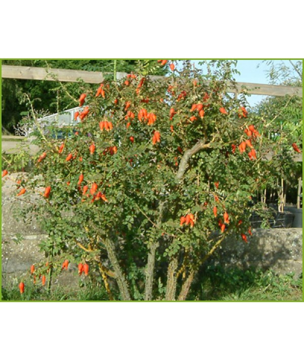 Rosa Geranium (moyesii hybrid) (6lt)
