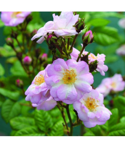 Rosa Perennial Blush