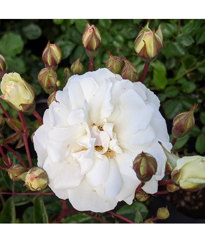 Rosa Prosperity (6lt)