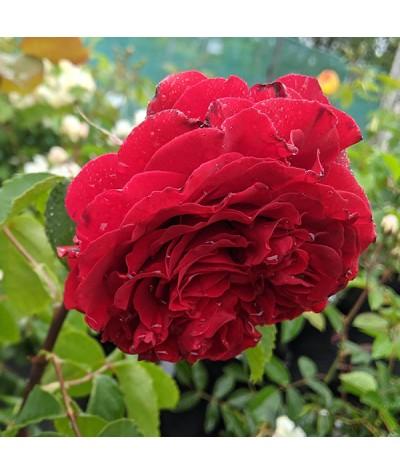 Rosa Red Perfumella (6lt)