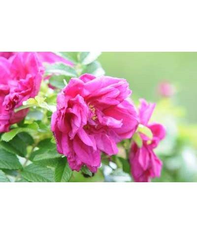 Rosa Roseraie de l'Hay (rugosa) (6lt)