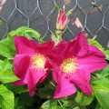 Rosa rugosa Rubra (3lt)