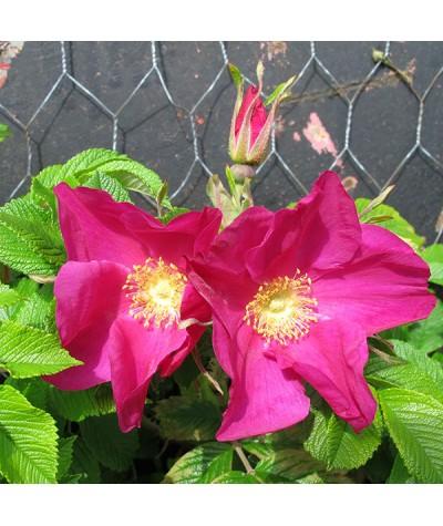 Rosa rugosa Rubra (6lt)