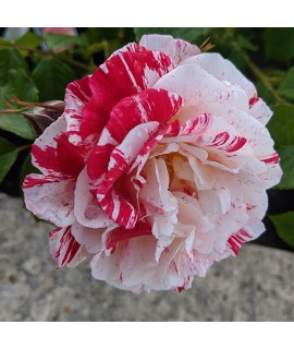 Rosa Scentimental (6lt)