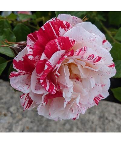 Rosa Scentimental (6lt)