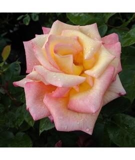 Rosa Sheila's Perfume (6lt)