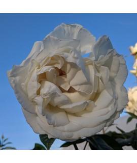 Rosa Silver Anniversary Standard
