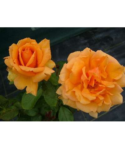 Rosa Simply the Best (6lt)