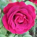 Rosa Souvenir du Docteur Jamain (6lt)