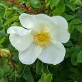 Rosa spinosissima (AKA. pimpinellifolia) (6lt)