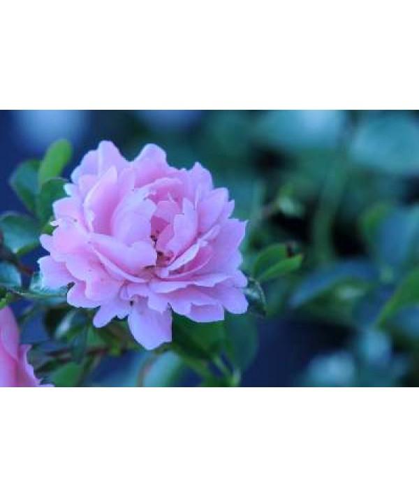 Rosa Surrey (6lt)