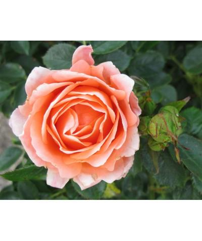 Rosa Sweet Dreams (6lt)