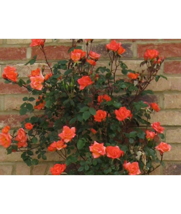 Rosa Warm Welcome (6lt)