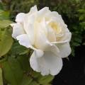 Rosa White Perfumella (6lt)