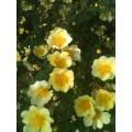 Rosa xanthina hugonis (6lt)