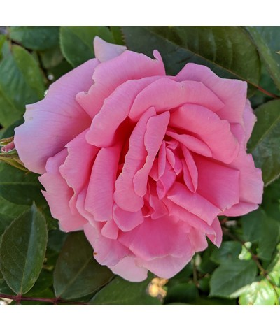 Rosa You're Beautiful (6lt)
