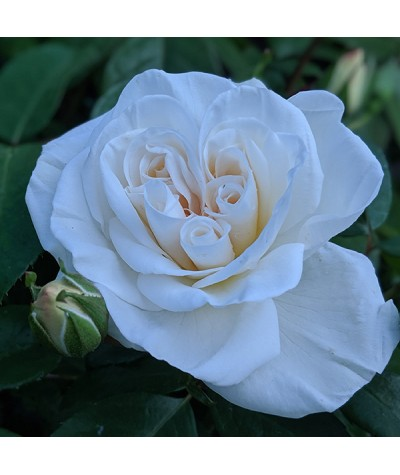 Rosa You're the One (6lt)