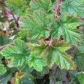 Rubus Betty Ashburner (3lt)