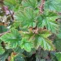 Rubus Betty Ashburner (3lt)