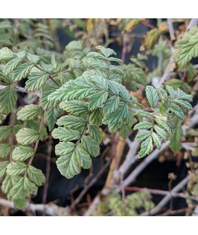 Rubus thibetanus Silver Fern (7.5lt)