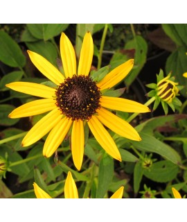 Rudbeckia fulgida Little Gold Star (1lt)