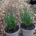 Salicornia europaea (9cm)
