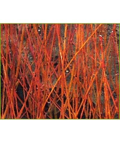 Salix alba var. vitellina Nova (6lt)