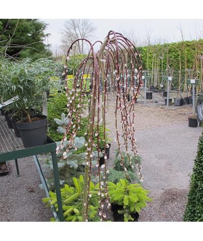 Salix caprea pendula  (17.5lt)