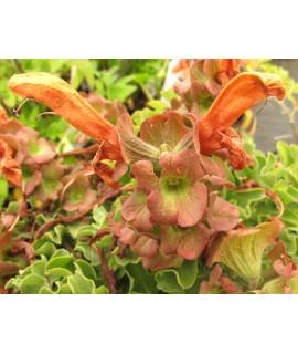 Salvia africana-lutea (3lt)