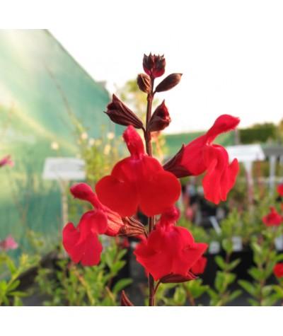 Salvia greggii Red Swing (1lt)