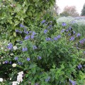 Salvia guaranitica Blue Enigma (1.5lt)