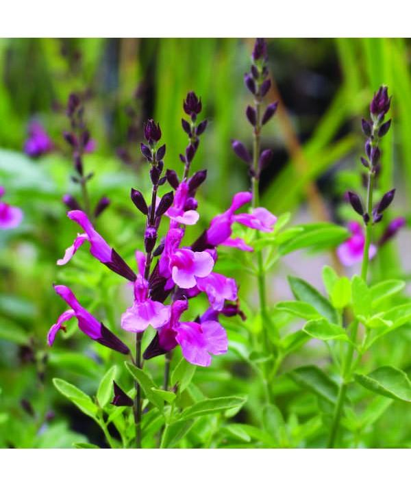 Salvia greggii Icing Sugar (1lt)