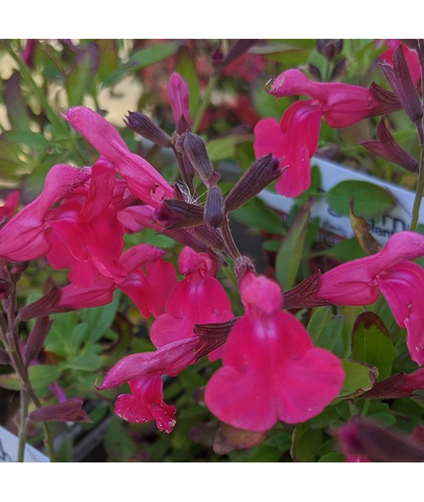 Salvia greggii Mirage Hot Pink (1lt)