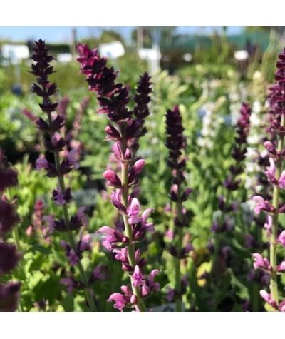 Salvia nemorosa salute Pink (1lt)