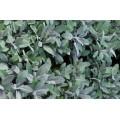 Salvia officinallis purpurascens (2lt)