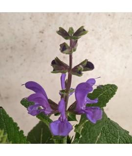Salvia pratensis Midnight Model (1lt)