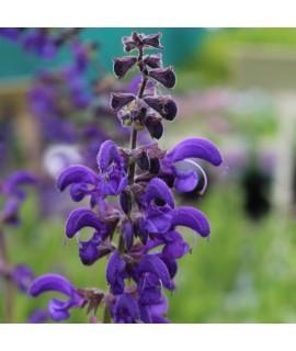 Salvia pratensis Twilight Serenade (1lt)
