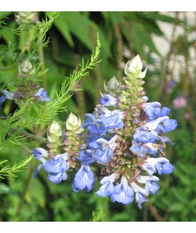 Salvia uliginosa (1lt)