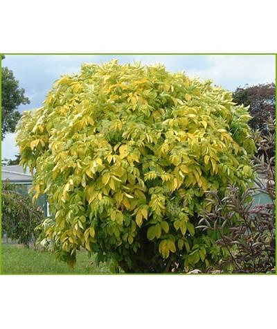 Sambucus nigra Aurea (3lt)