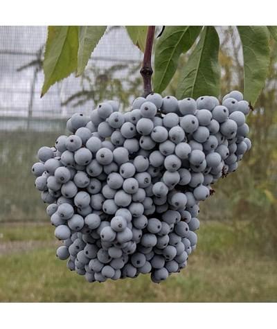 Sambucus nigra subsp. Caerulea (2lt)