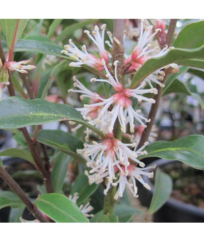 Sarcococca hookeriana 'Purple Stem' (2lt)