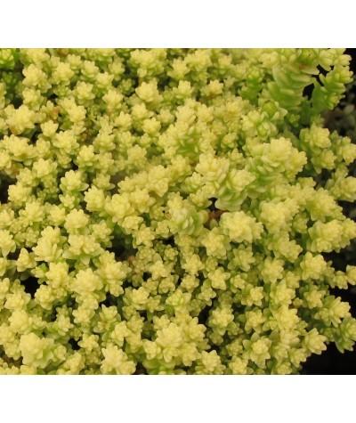Sedum acre Aureum (9cm)