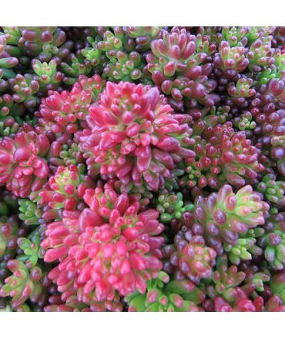 Sedum album coral carpet (1lt)