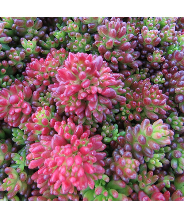 Sedum album coral carpet (9cm)